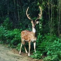 deer-gaze-antler