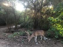 deer-grazing